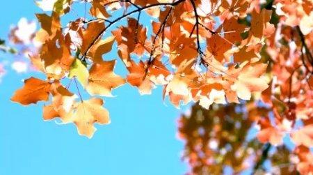 دانلود فوتیج ریزش برگ پاییزی slow motion