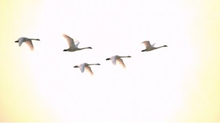 دانلود فوتیج  slow motion  پرواز قوها Swans Flying