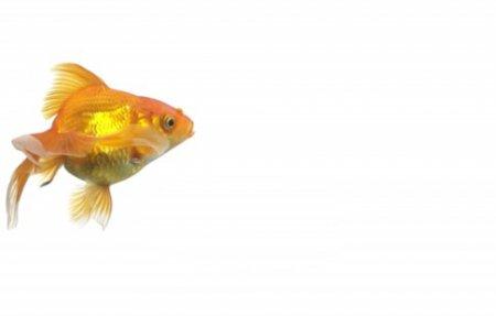 دانلود استوک فوتیج زیبای شنا کردن ماهی گلی